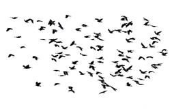 Grande stormo di volata nera degli uccelli isolata sul backgro bianco del cielo Fotografia Stock Libera da Diritti