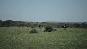 Grande struzzo tre che cammina su un campo verde in Africa un giorno soleggiato video d archivio