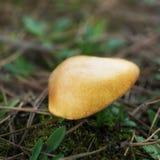 Grande suillus del fungo nella foresta Immagine Stock Libera da Diritti