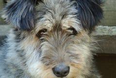 Grande tête de chien grise pelucheuse Image libre de droits