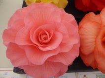 Grande tête rose foncée de bégonia en pleine floraison avec les têtes d'orange, jaunes et rouges à l'arrière-plan photo stock
