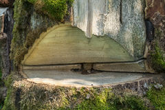 Grande taglio dell'albero in lavorazione Fotografia Stock