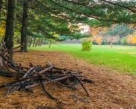 Grande taglio di rami del pino nel parco immagine stock