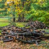Grande taglio di rami del pino nel parco Immagine Stock Libera da Diritti