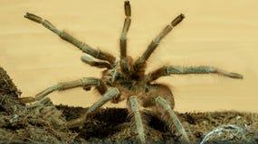 Grande tarantola di Brown fotografia stock