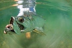 Grande tarpone nell'ambito dell'alimentazione dell'acqua - pesca di mosca Fotografie Stock