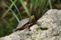 Grande tartaruga Fotografia Stock