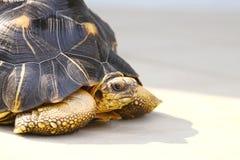 Grande tartaruga Fotografie Stock