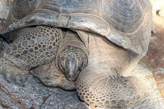 Grande tartaruga Imagens de Stock Royalty Free