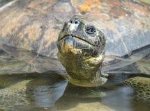 Grande tartaruga Immagini Stock Libere da Diritti