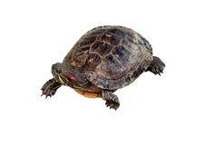Grande tartaruga anfibia Fotografia Stock Libera da Diritti