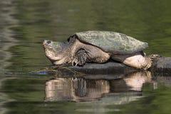 Grande tartaruga de agarramento comum que toma sol em uma rocha - Ontário, Canadá fotos de stock royalty free