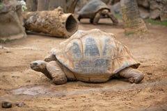 Grande tartaruga della terra fotografie stock