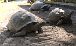 Grande tartaruga delle Seychelles Fotografie Stock
