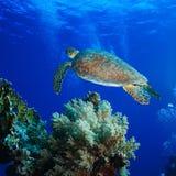 Grande tartaruga di mare che sale nel mare blu profondo Immagine Stock Libera da Diritti