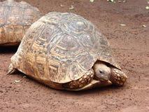 Grande tartaruga marrone in Africa su suolo marrone Immagini Stock