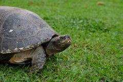 Grande tartaruga sull'erba verde immagine stock
