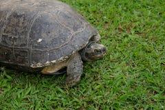 Grande tartaruga sull'erba verde immagini stock