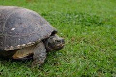 Grande tartaruga sull'erba verde fotografie stock