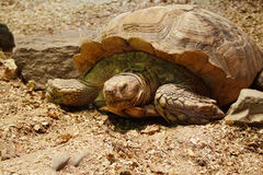 Grande tartaruga in zoo Fotografie Stock Libere da Diritti