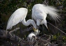 Grande tempo di alimentazione bianco della famiglia del Egret immagine stock libera da diritti