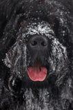 Grande terrier preto desgrenhado do focinho Fotos de Stock Royalty Free