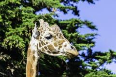 Grande testa della giraffa Immagine Stock