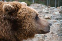 Grande testa europea dell'orso bruno immagine stock libera da diritti