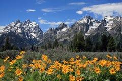 Grande Teton con i fiori gialli della primavera Fotografie Stock