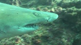 Grande Tiger Shark Underwater Video pericoloso stock footage