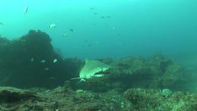Grande Tiger Shark Underwater Video pericoloso archivi video