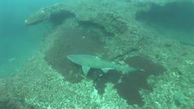 Grande Tiger Shark Underwater Video pericoloso video d archivio