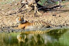 Grande tigre maschio che bagna nel lago fangoso Fotografia Stock
