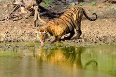 Grande tigre maschio che beve dal lago fangoso Fotografie Stock Libere da Diritti