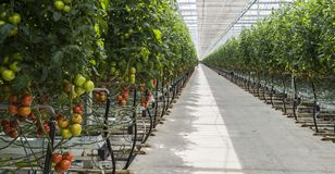 Grande tomate de serre chaude Photo stock