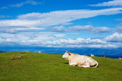 Grande toro bianco il giorno di estate ecologicamente pulito alpino di Pasturein Immagine Stock Libera da Diritti