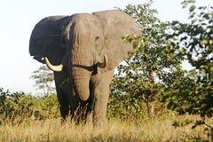 Grande toro dell'elefante Fotografia Stock