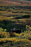 Grande toro delle alci Fotografia Stock Libera da Diritti