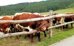 Grande toro nel pascolo Fotografia Stock Libera da Diritti