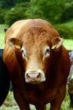 Grande toro rosso nel campo delle mucche Immagine Stock