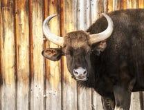 Grande toro scuro sporco cornuto Fotografie Stock Libere da Diritti