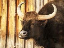 Grande toro scuro sporco cornuto Immagini Stock Libere da Diritti