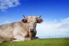 Grande toro sul pascolo ecologicamente pulito alpino nel giorno di estate Immagini Stock Libere da Diritti