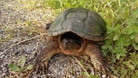Grande tortue étant enclenchée Photo libre de droits