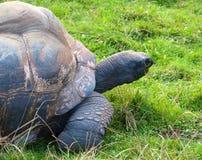 Grande tortue Images libres de droits