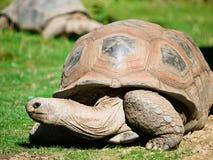 Grande tortue Photos stock
