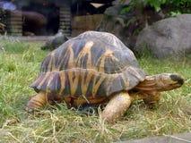 Grande tortue Image libre de droits