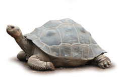 Grande tortue d'isolement Photo stock
