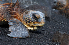 Grande tortue de mer d'île Image stock