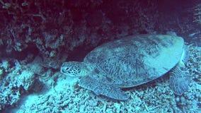 Grande tortue de mer verte dormant sur le récif peu profond de lagune de mer tropicale banque de vidéos